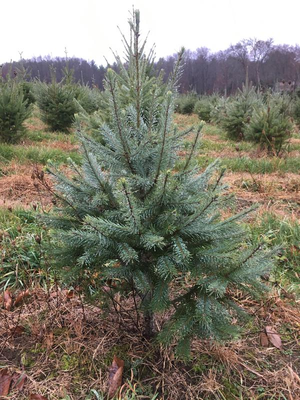 Cut Your Own Christmas Tree Near Me